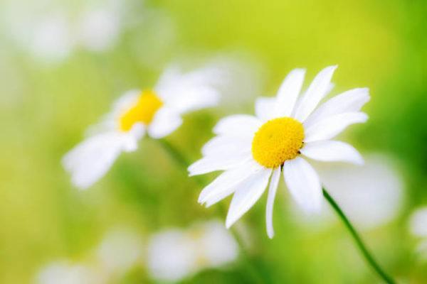 Flores de primavera margaritas