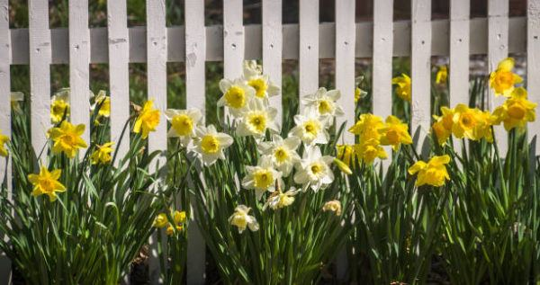 Flores de primavera narcisos
