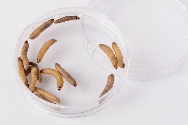 El gusano o larva que come plástico para solucionar el problema de la basura de plástico